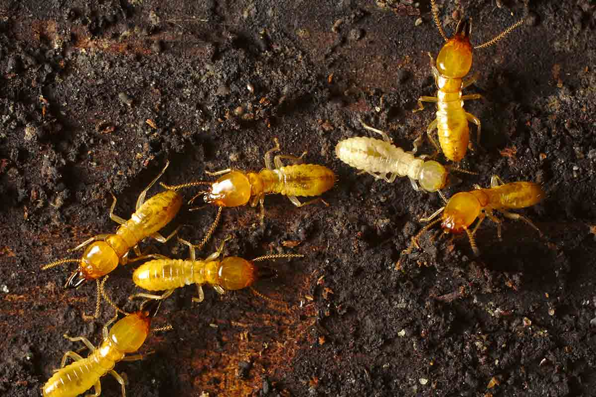 Close-up image of Formosan termites