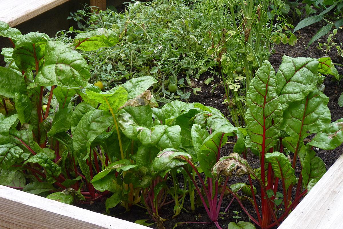 vegetables growing in raised beds