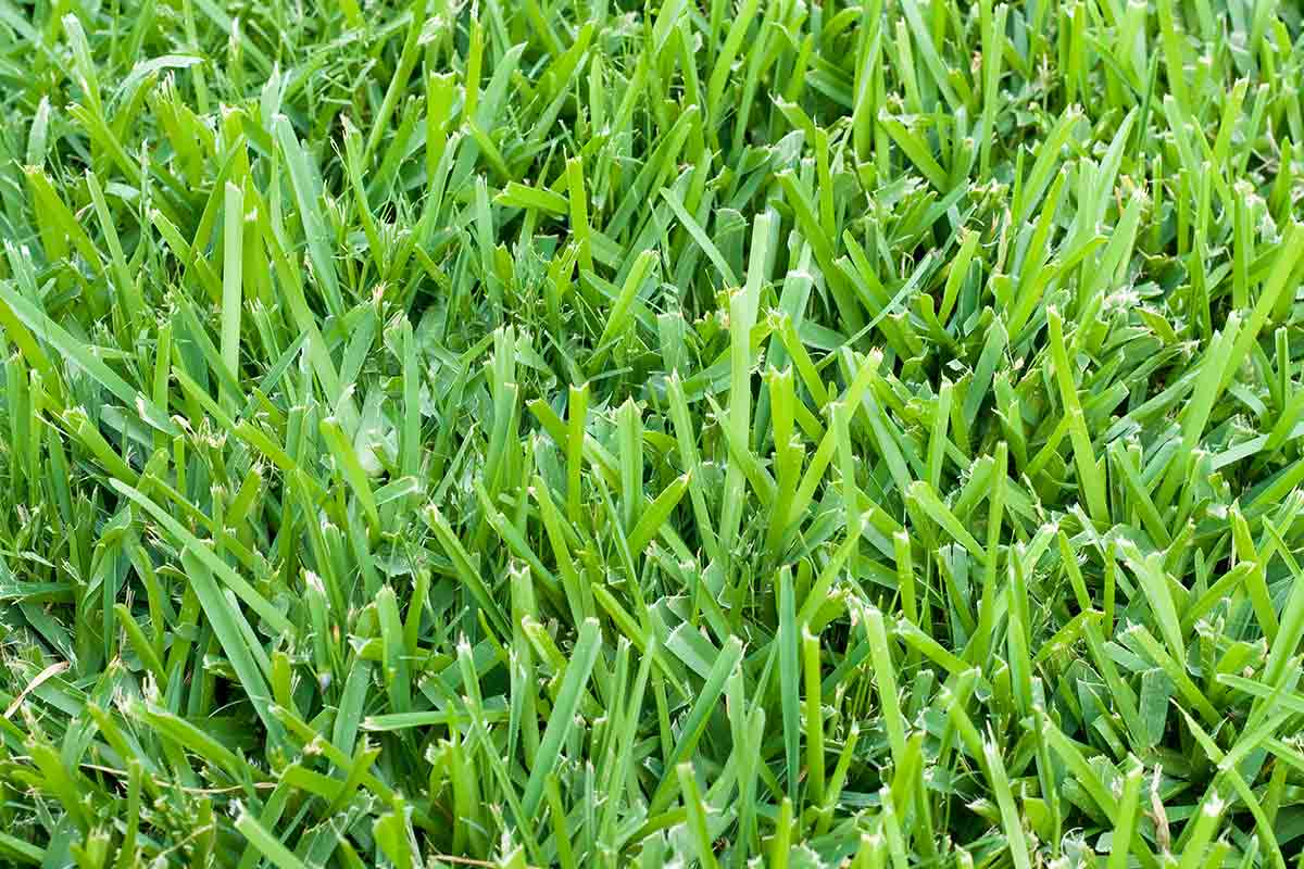 Close-up image of bright green St. Augustine grass