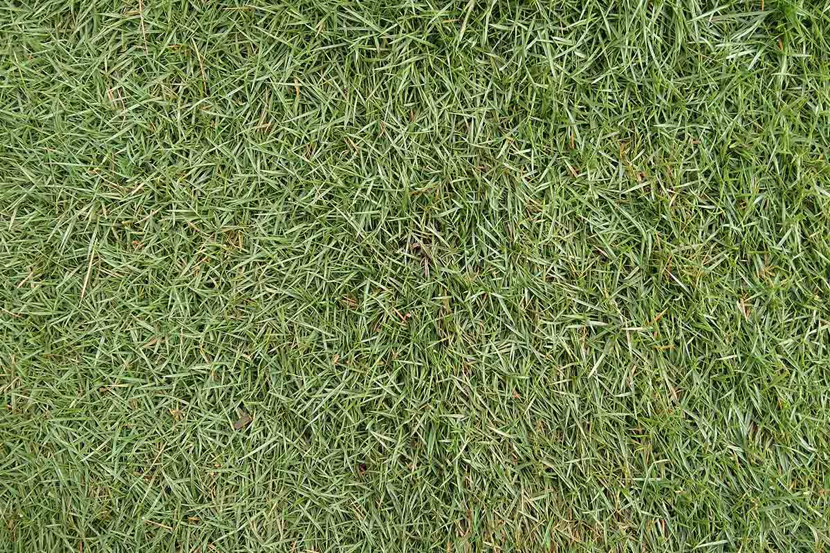 Close-up image of Zoysia japonica, a variety of Zoysia grass