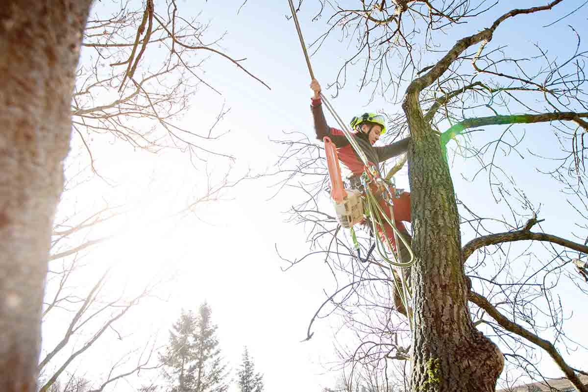 professional arborist removing dead tree