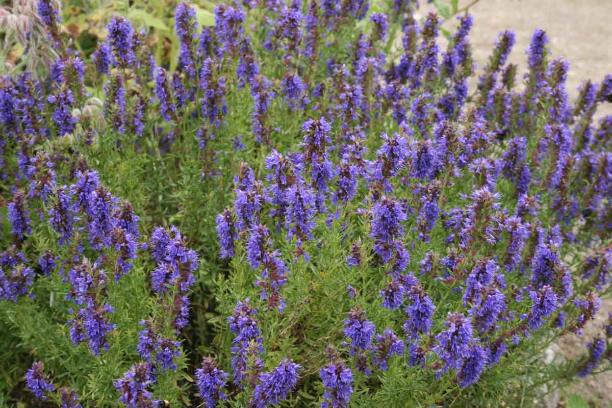 mature hyssop officinalis plant in bloom