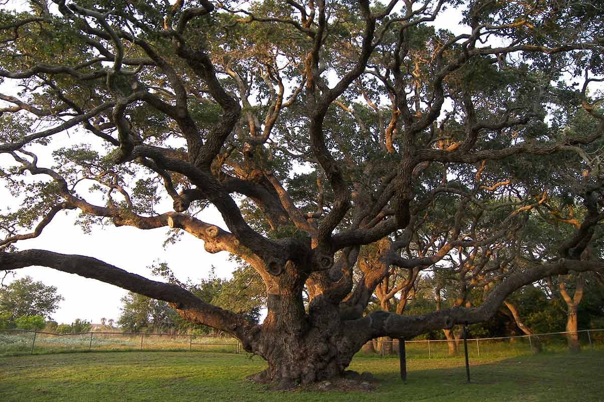 very large texas live oak tree