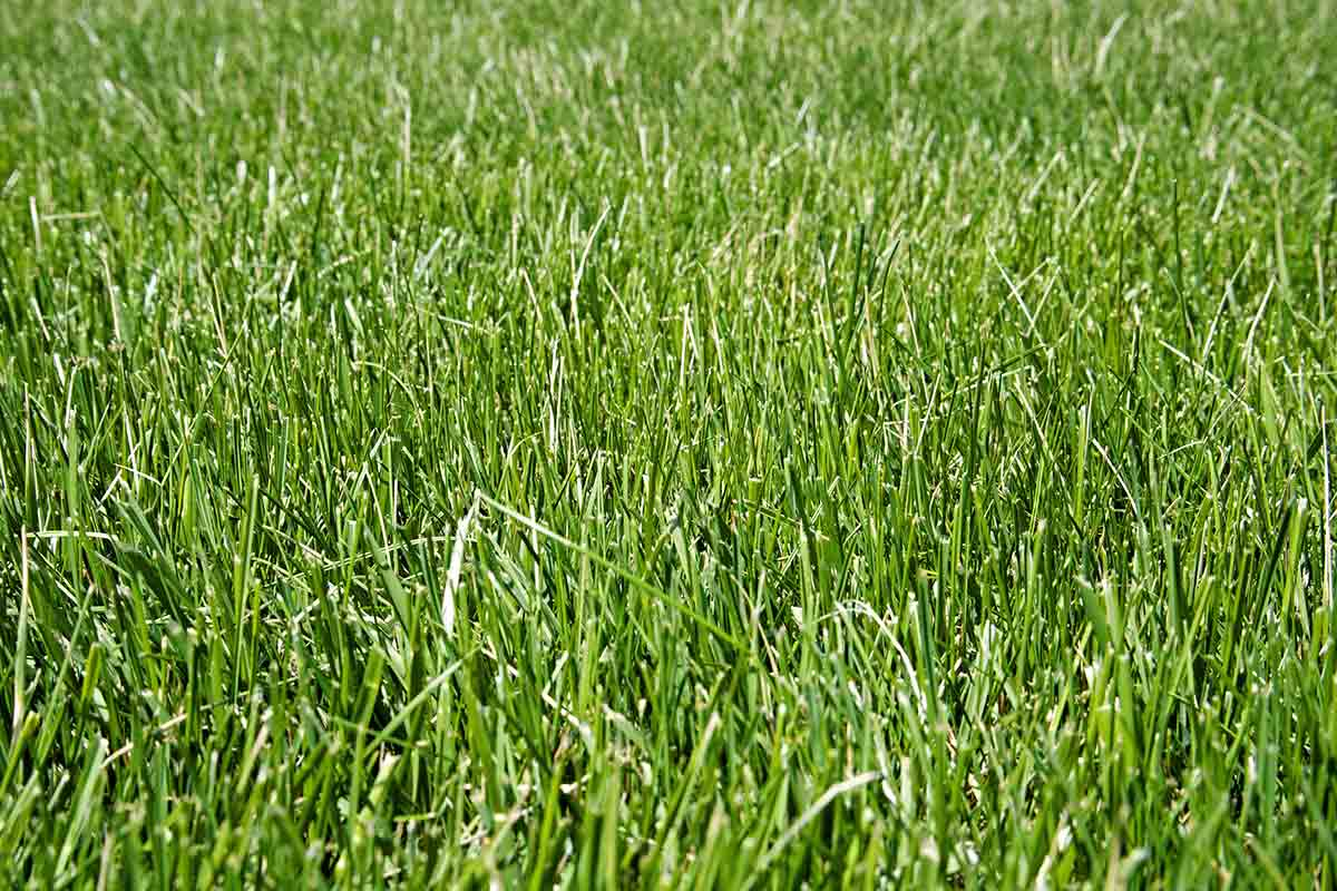 close-up-image-of-a-variety-of-fine-fescue