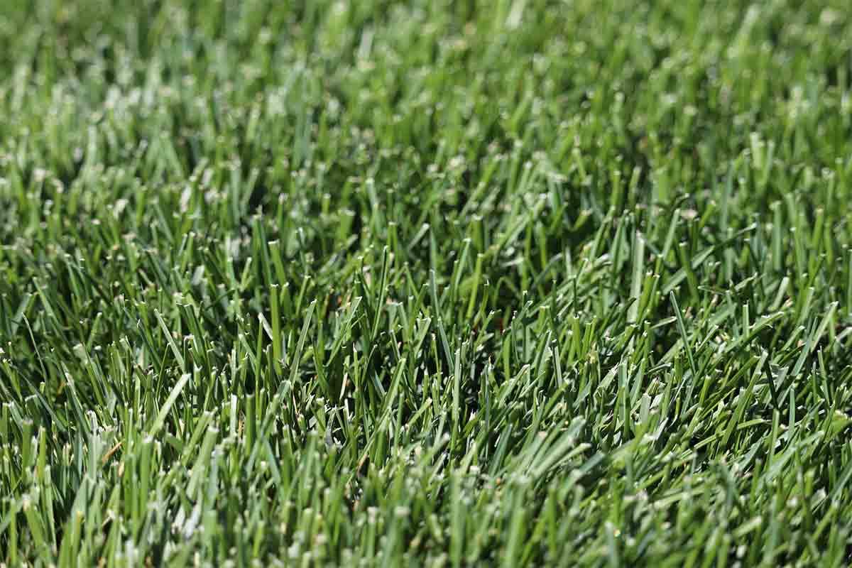 close-up-of-blue-green-Kentucky-bluegrass-blades