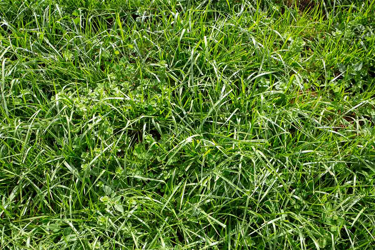 close-up-of-bright-green-tall-fescue-grass