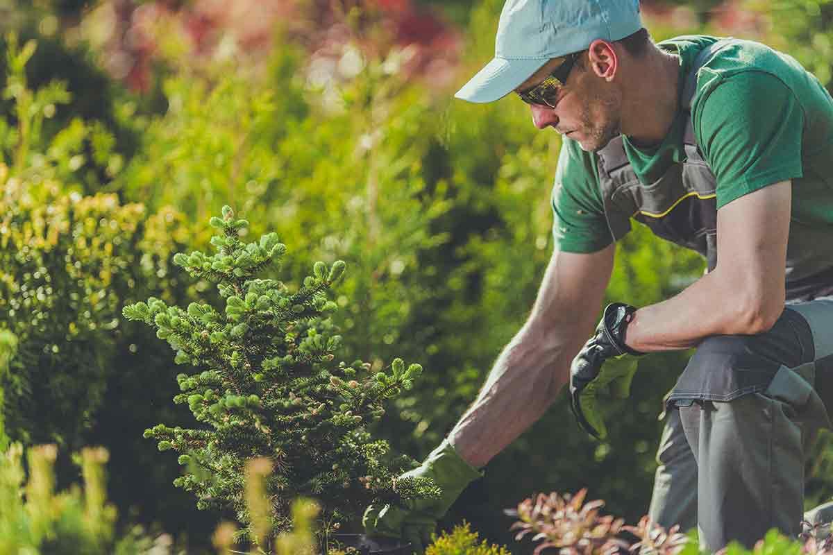 landscaper planting sapling trees