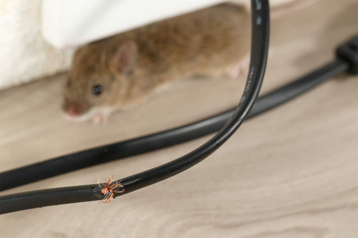 close-up of chewed electrical chord with mouse in the background
