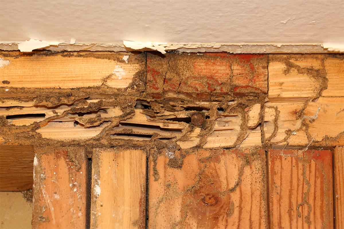 termite damage on wall studs