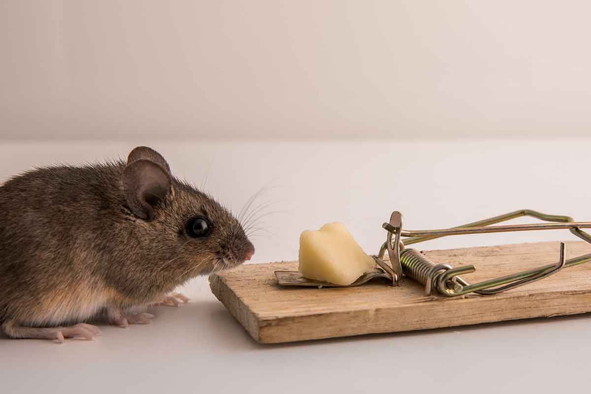 mouse and trap with cheese