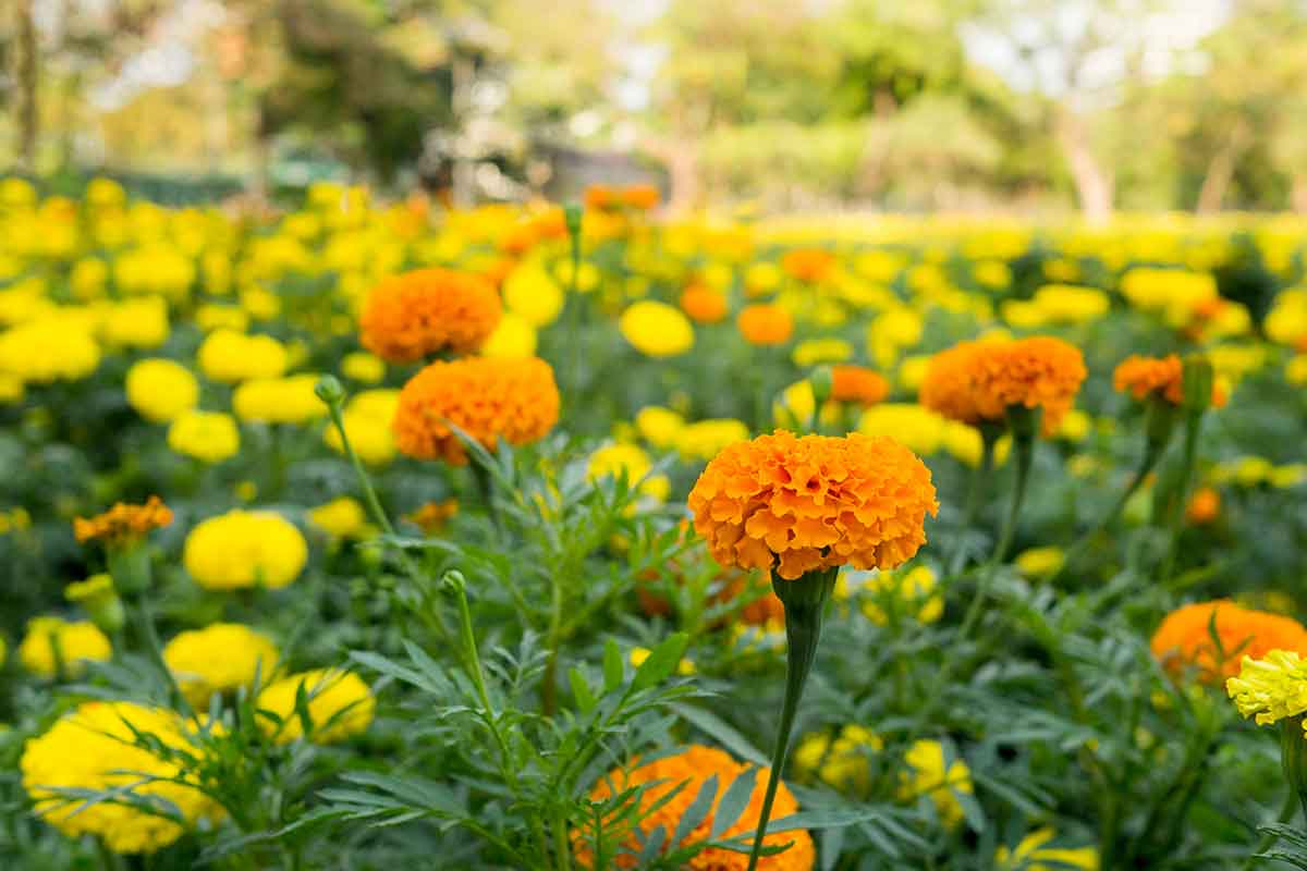 field of yellow and orange marigolds