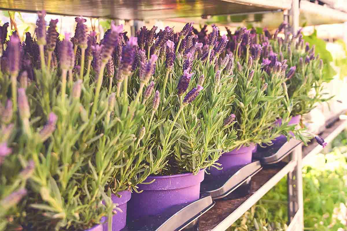 lavender plants in pots