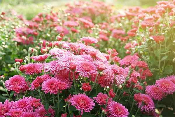pink chrysanthemums outside