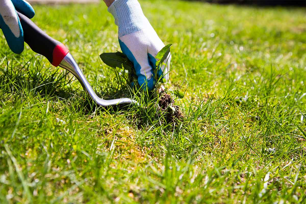 gardener pulling weeds in lawn with spade