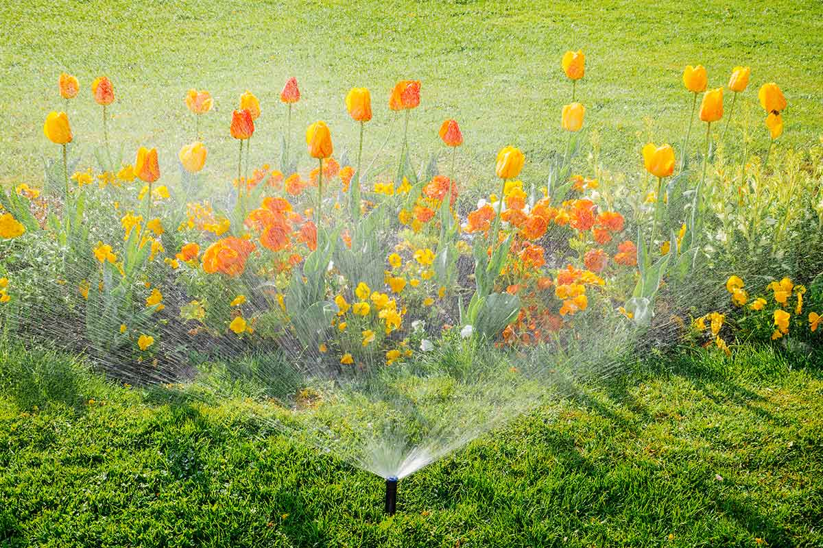 sprinkler watering grass and tulips in yard