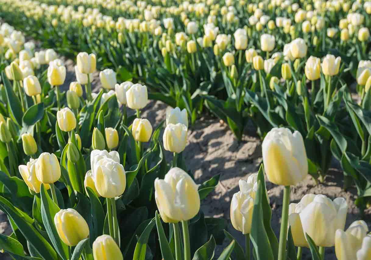 Field of cream tulips