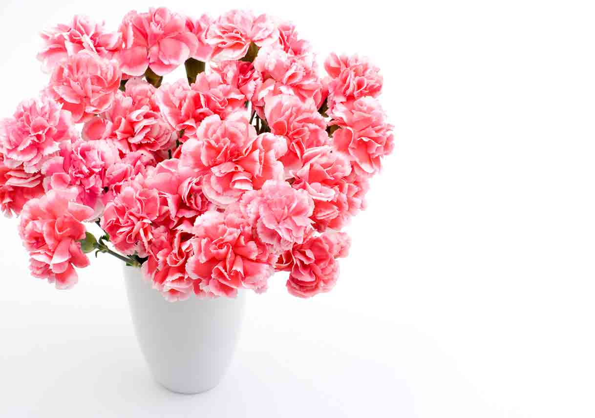 Pink carnation bouquet on white background