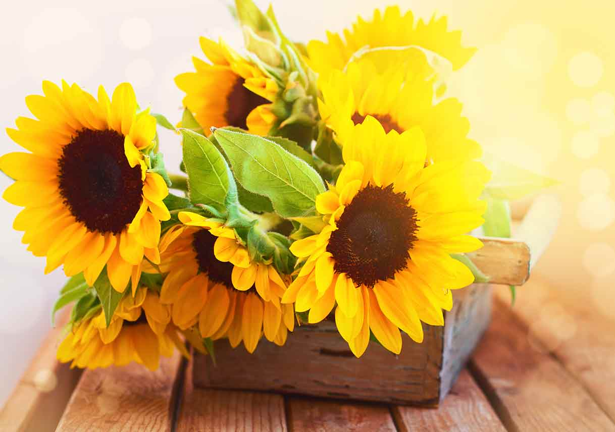 Sunflowers in wooden planter