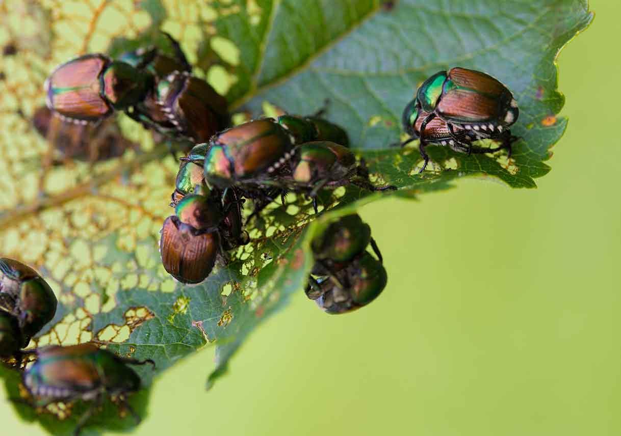 Japanese beetles on a skeletonized leaf