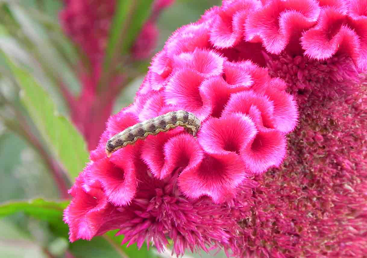 caterpiller on pink flowers