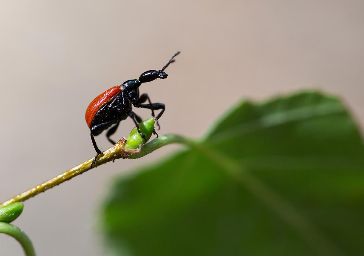 closeup of a beetle walnut weevil on a leaf