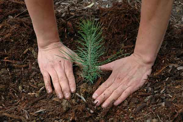 hands planting a young fir tree