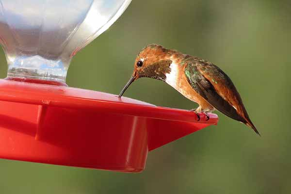 red-brown hummingbird eating from a hummingbird feeder