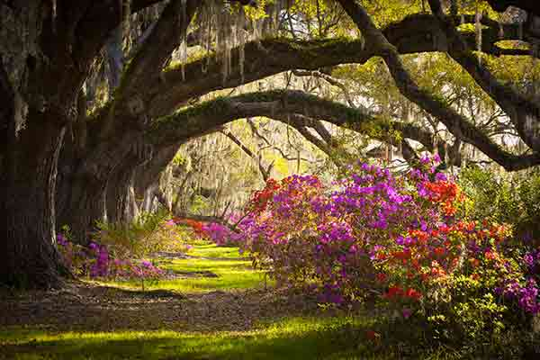 Oak trees and blooming flowers with Spanish moss