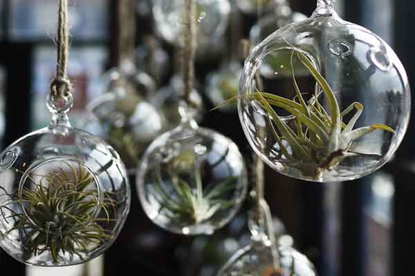 air plants in hanging glass orbs