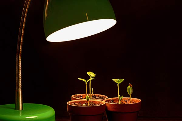 seedlings sprout under grow light