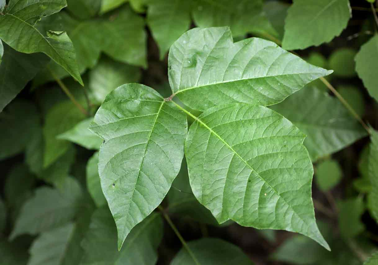 close-up of a poison ivy stem and leaves