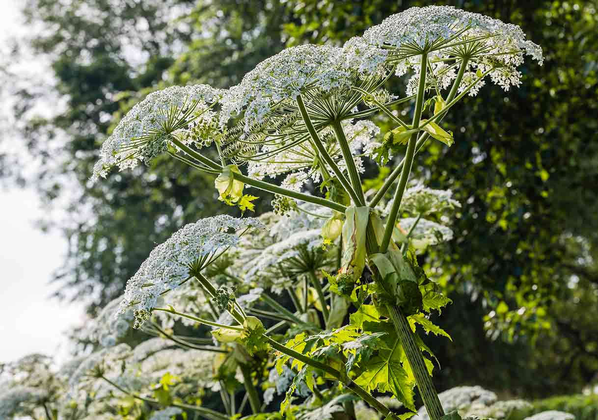 close-up of giant hogweed with white blooms