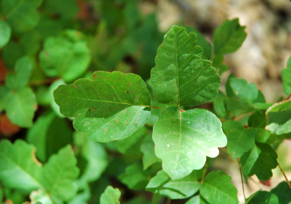 close-up of poison oak leaves