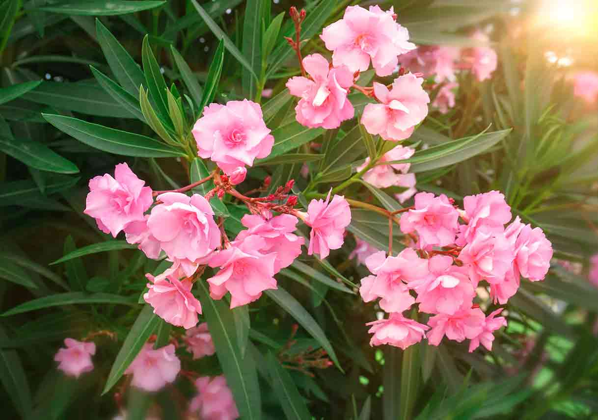 oleander shrub with pink blooms