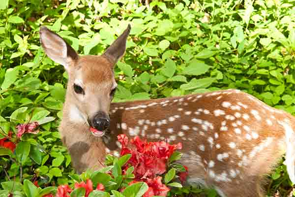 young deer eating flowers