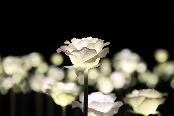 illuminated white rose at night
