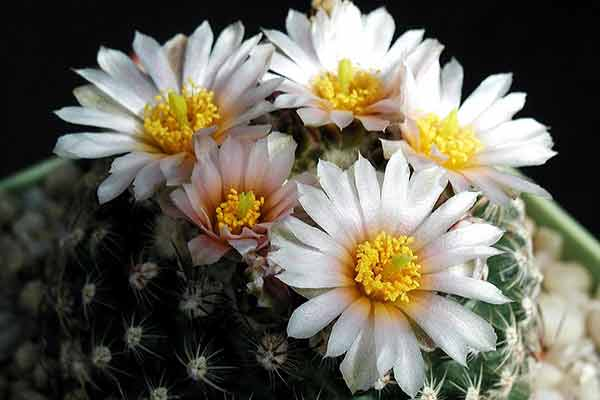 cactus with white bloom