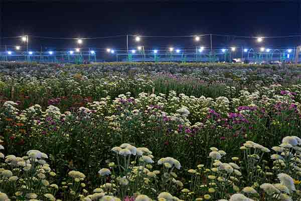 chrysanthemums under light at night