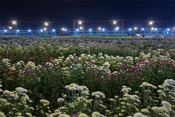 Chrysanthemums Under Light At Night