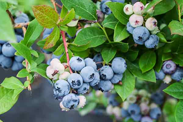 cluster of ripe blueberries on the bush