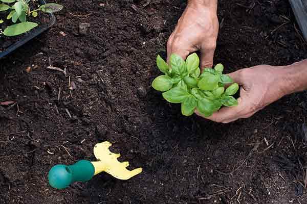hands planting basil