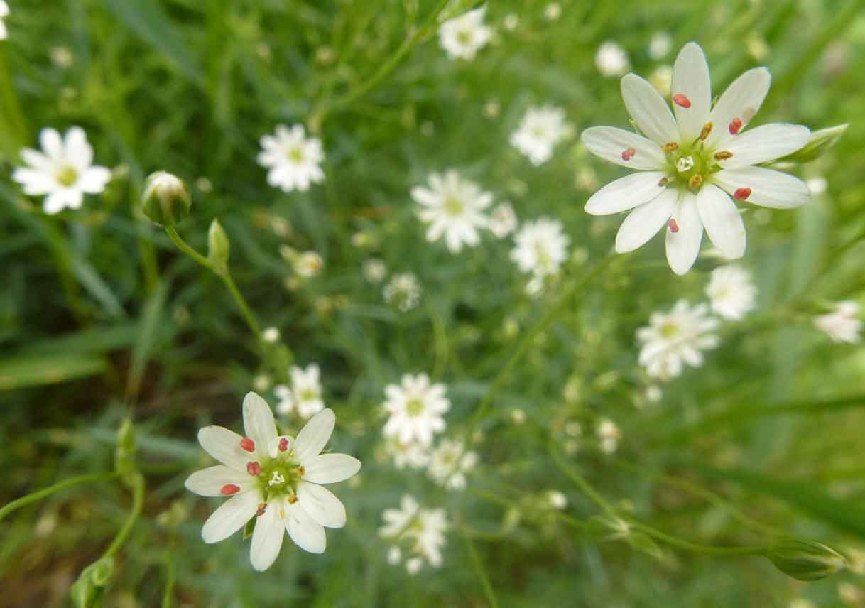 closeup of chickweed flowers