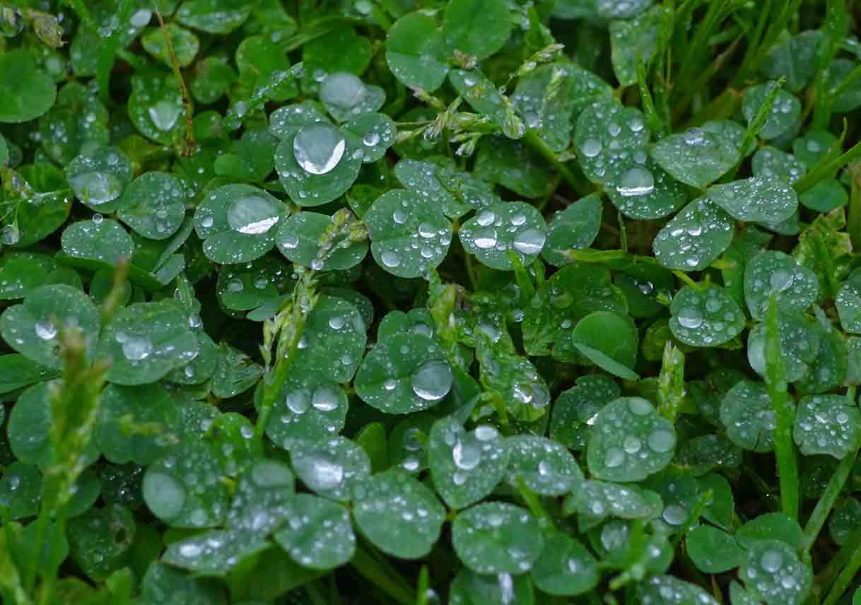 closeup of clover plants with raindrops on the leaves
