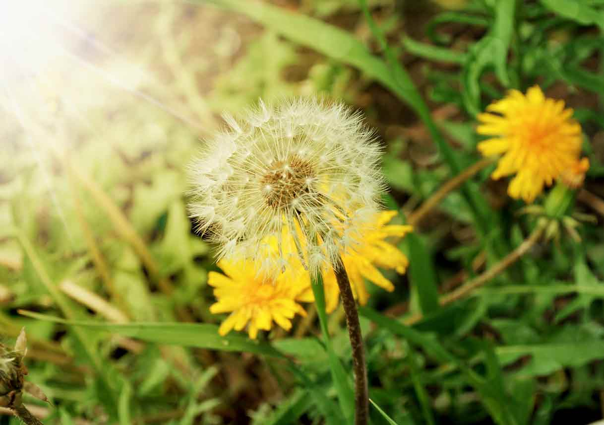 closeup of dandelion flowers