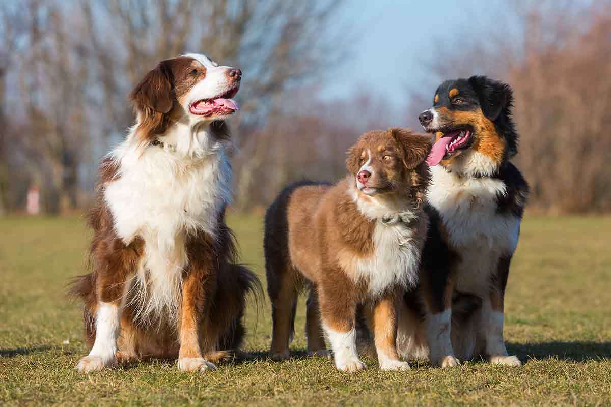three Australian shepherds in a yard