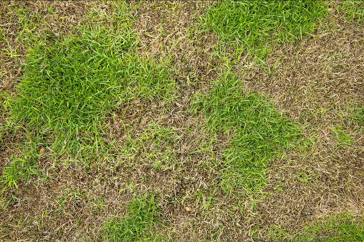 Patchy grass caused by overuse of chemical fertilizers