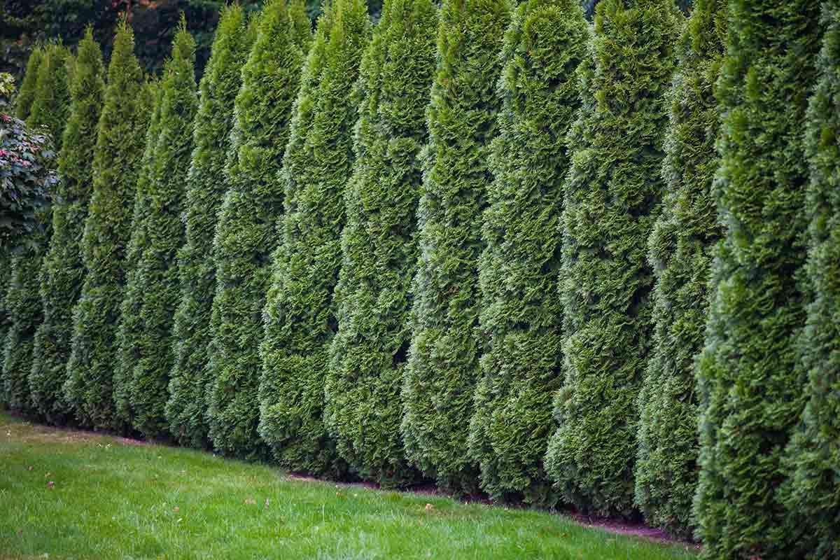 Privacy screen made of arborvitae