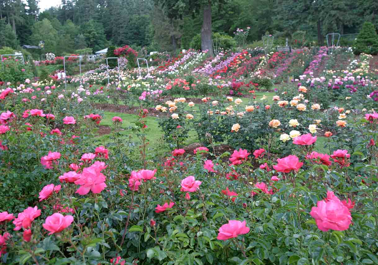 rows of various-colored roses