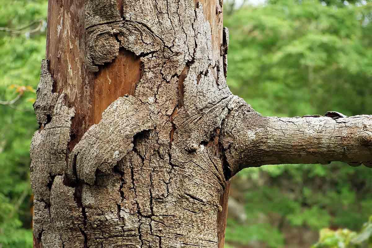dying tree losing its bark