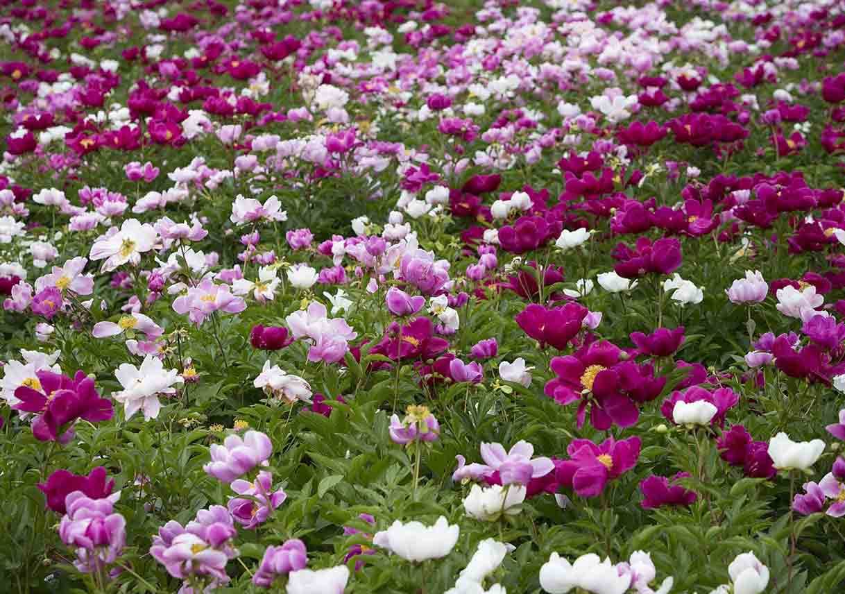 a field of purple and white peonies
